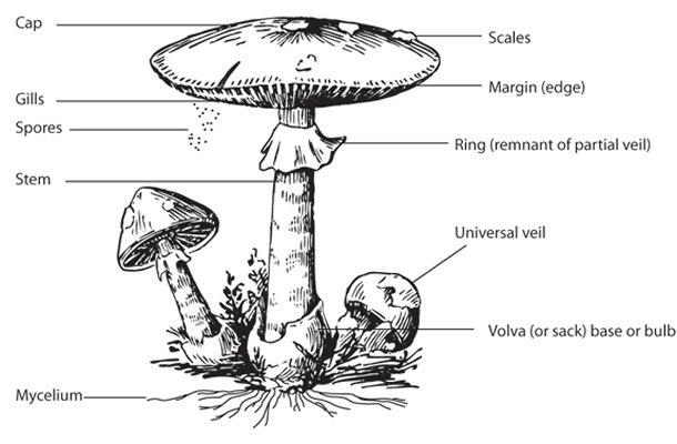 mushroom-parts.jpg.4c040adf45ea484fd4a7d5223e736e13.jpg