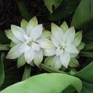 Ruggedflower