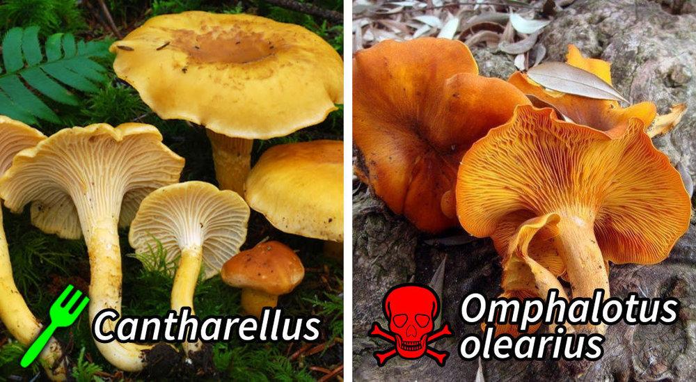 example-of-dangerous-similar-mushrooms.thumb.jpg.b45bcb759cef6c82737fbd9794e5bc57.jpg